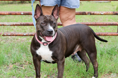 Scarlett - 5 year old English Bull Terrier Mix